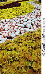Colorful blooming chrysanthemum flowers.