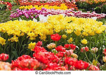 blooming tulips in the spring garden