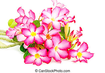 Impala Lily - Colorful blossom red flower, Desert Rose-...