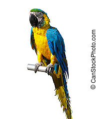 colorful blue and yellow parrot isolated over white