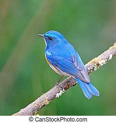 Himalayan Bluetail - Colorful blue bird, male Himalayan...