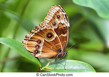 Colorful Blue Morpho butterfly sitting on a green leaf