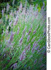 Colorful bush of lavender