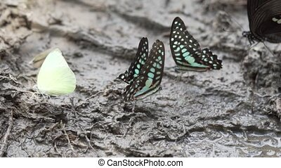 Colorful butterflies on the muddy ground - Crowded of the...