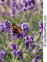 Colorful Butterfly on the blooming lavender flowers
