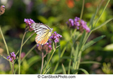 Colorful butterfly on Verbena flower