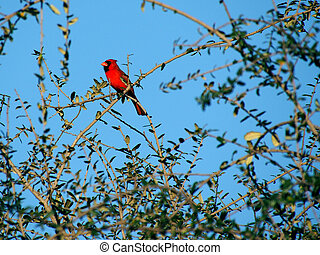 Colorful Cardinal In a Tree