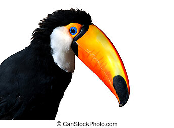 Colorful Caribbean Toucan with large orange beak isolated.