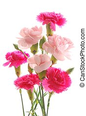 colorful carnations - Close-up of pink and red carnations ...