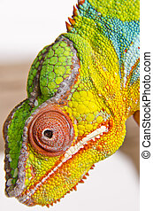 Colorful chameleon (2)