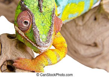 Colorful chameleon (3)