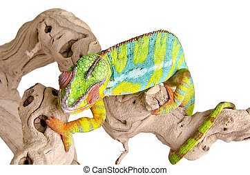Colorful chameleon (4)