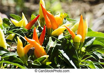 Colorful Chilli Backyard Garden