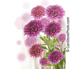 Colorful Chrysanthemum