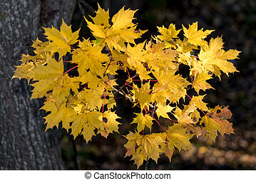 Colorful cluster of maple leafs during autumn in sunlight