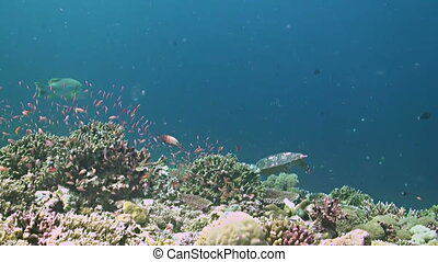 Colorful coral reef in Philippines. Healthy hard corals with plenty fish, Hawksbill Turtle and Snapper