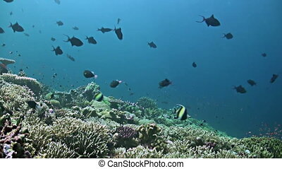 Colorful coral reef in Philippines. Healthy hard corals with plenty fish
