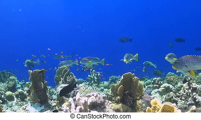 Tubbataha reef belongs to the best dive spots world wide. A colorful coral reef with snapper, sweetlips and surgeonfish