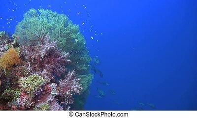 Colorful Coral reef with plenty fish and huge sea fans. Snapper, Damselfish, Surgeonfish, Unicornfish, Anthias