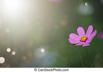 Colorful cosmos flowers with blurred background in the garden.
