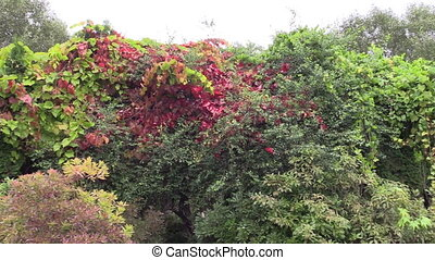 Colorful creeper climber plant leaves grow in autumnal botanical garden. Panorama shot. Full HD 1080p. Progressive scan 25fps. Tripod.