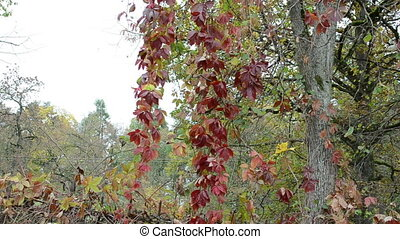 colorful creeper plant leaves in autumn grow on tree...