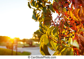 Colorful creeper vine in late afternoon sunlight