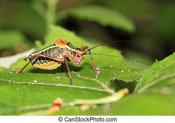 Colorful cricket on a leaf