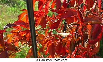 Colorful crimson yellow orange purple autumn leaves...