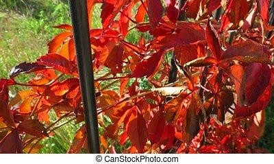 Colorful crimson yellow orange purple autumn leaves...