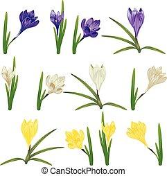 Colorful Crocus Flowers - Spring flowers, colorful blooming...