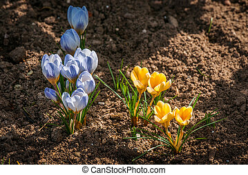Colorful crocus flowers in the springtime