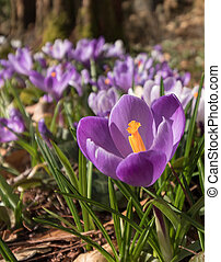 Colorful crocus on a meadow in spring, Norway