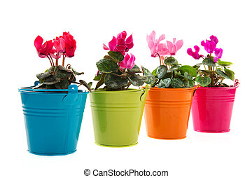Pink and red Cyclamen in colorful buckets