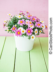 Colorful daisies in white pot