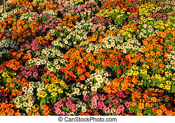 Colorful daisy flowers in the garden