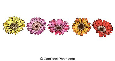Colorful daisy flowers isolated on white background. Floral vector
