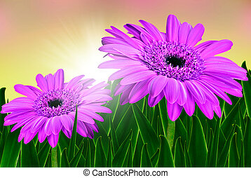 Colorful daisy gerbera flowers in a field  at sunrise
