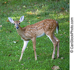 Colorful deer fawn - Whitetail deer fawn out in the shade on...