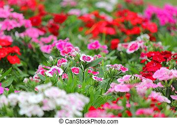 dianthus flower blossom in the garden