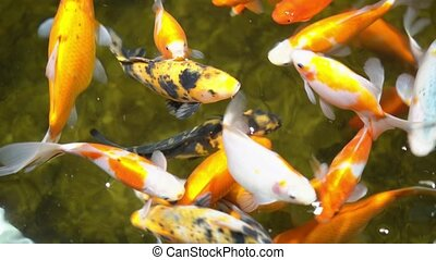 Colorful exotic fishes swimming in zoo aquarium. Gimbal top view motion closeup shot.