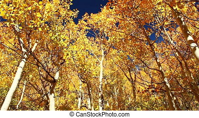 colorful fall aspen trees