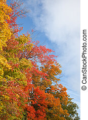 Colorful fall maple tree leafs
