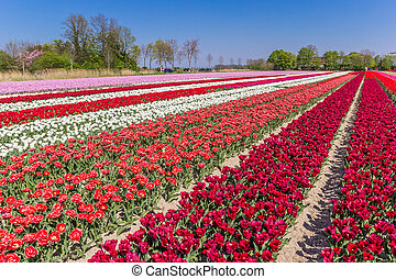 Colorful field of dutch tulips in the springtime in The Netherlands