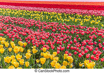 Colorful field of tulips in Noordoostpolder