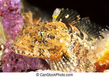 Colorful Fish - Close up of a small sculpin fish resting ...
