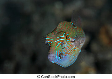 colorful fish - colorful marine fish, taken at Laha Beach, ...