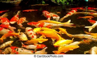 colorful fish Fancy carp. Mirror carp in the pond .