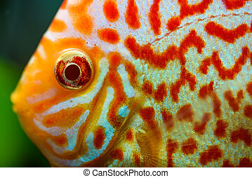 Colorful fish from the spieces Symphysodon discus closeup...