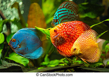 Colorful fish from the spieces Symphysodon discus in ...